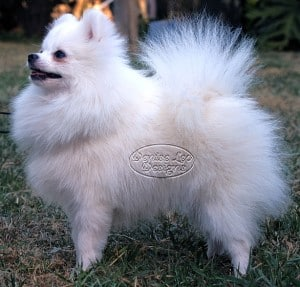 older pomeranian puppy