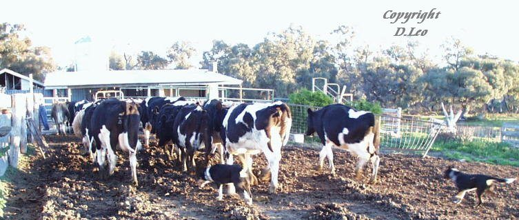 Working dogs on the farm.