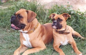 Boxer dog and puppy