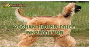 Afghan Hound Price Information