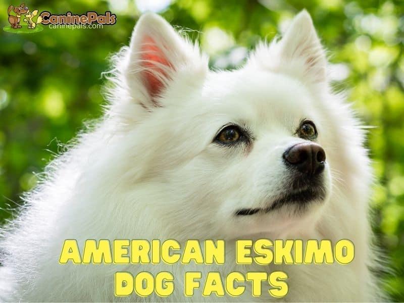 American Eskimo Dog Facts