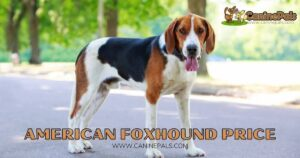 American Foxhound Price: Is this Amazing Dog Worth It?
