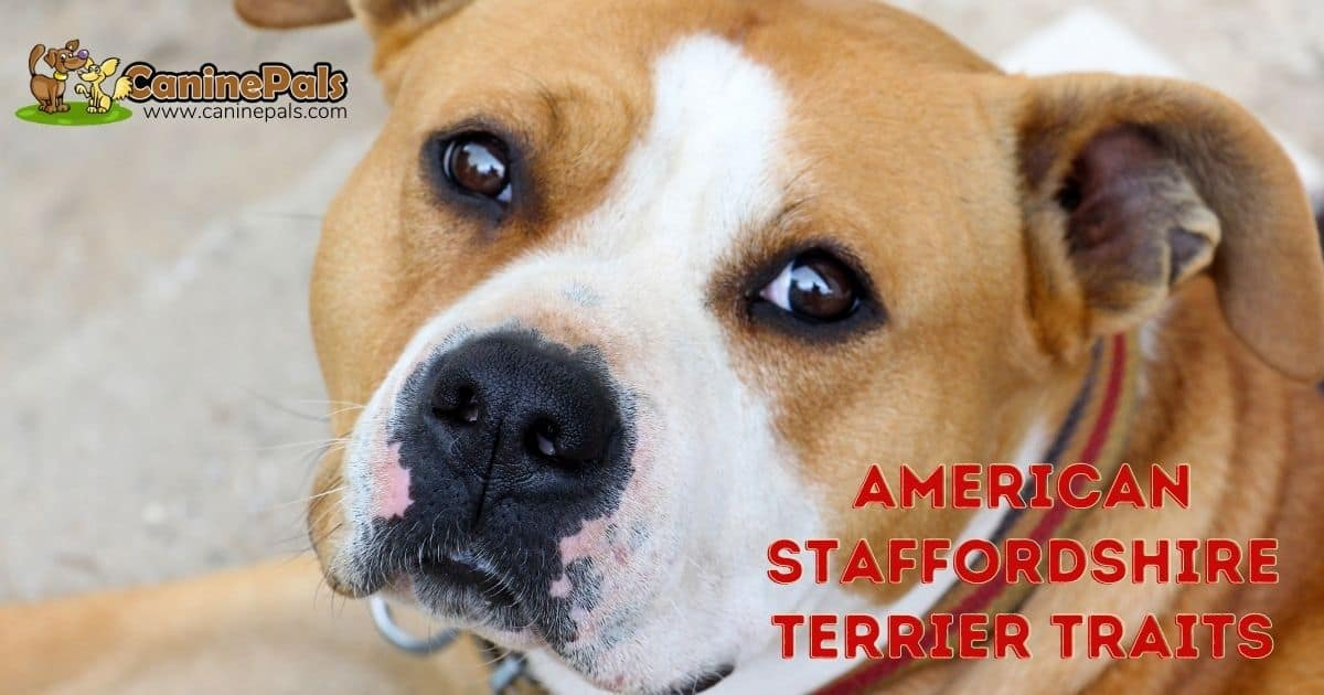 American Staffordshire Terrier Traits