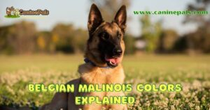 Complete Belgian Malinois Colors, Patterns and Pictures