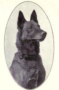 Belgian Sheepdog from 1915