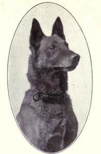 Belgian Sheepdog from 1915