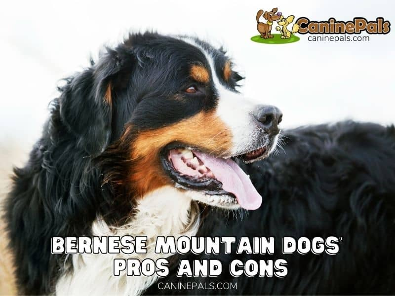 Bernese Mountain Dogs' Pros and Cons