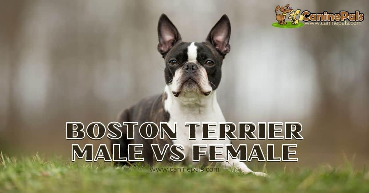 Boston Terrier Male vs Female
