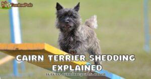 Cairn Terrier Shedding Explained