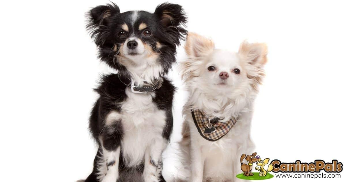 Chihuahua Long Coat Dogs