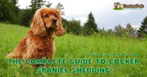 Do Cocker Spaniels Shed? Tips on Dealing With Shedding