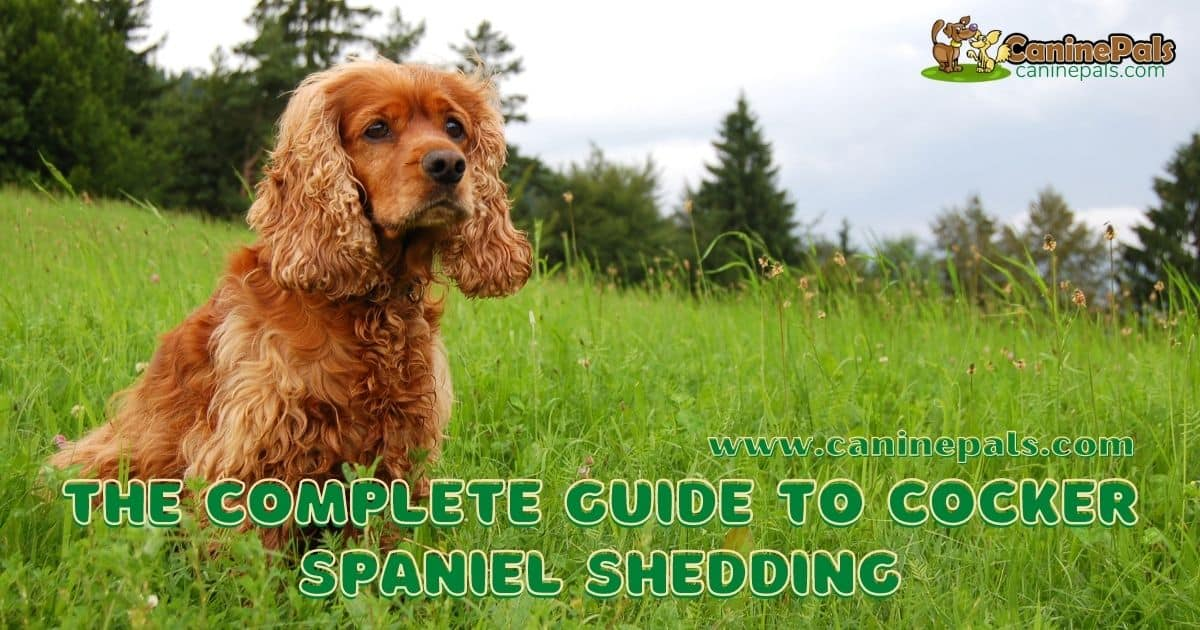 The Complete Guide to Cocker Spaniel Shedding