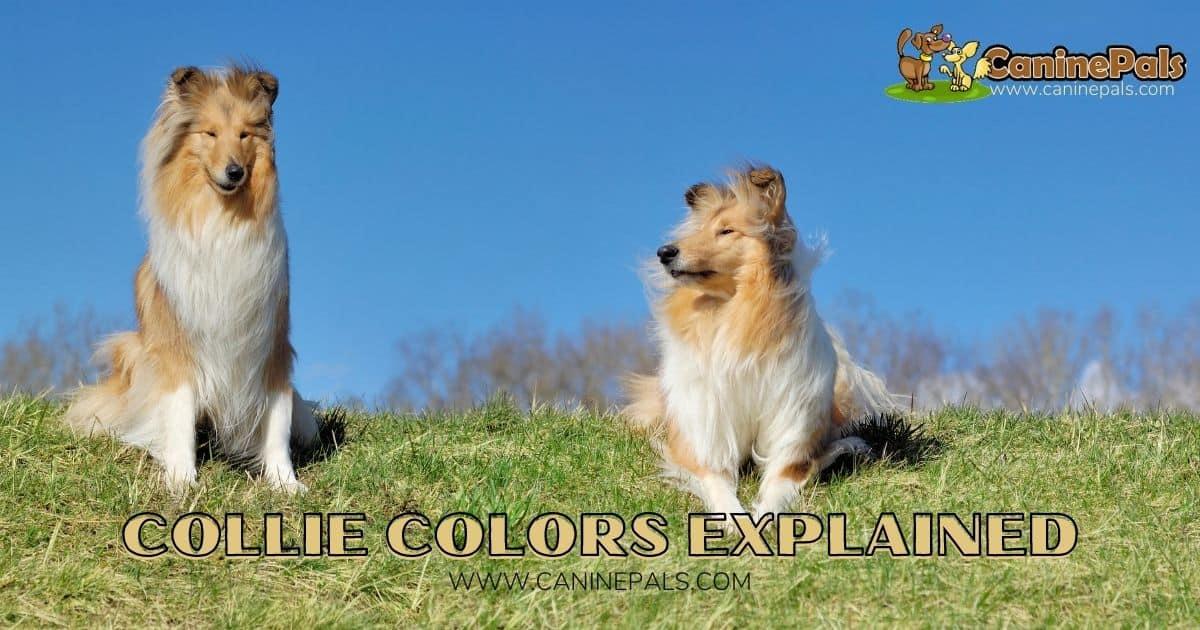 Collie Colors Explained