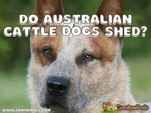 Do Australian Cattle Dogs Shed?
