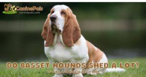 Do Basset Hounds Shed a Lot?