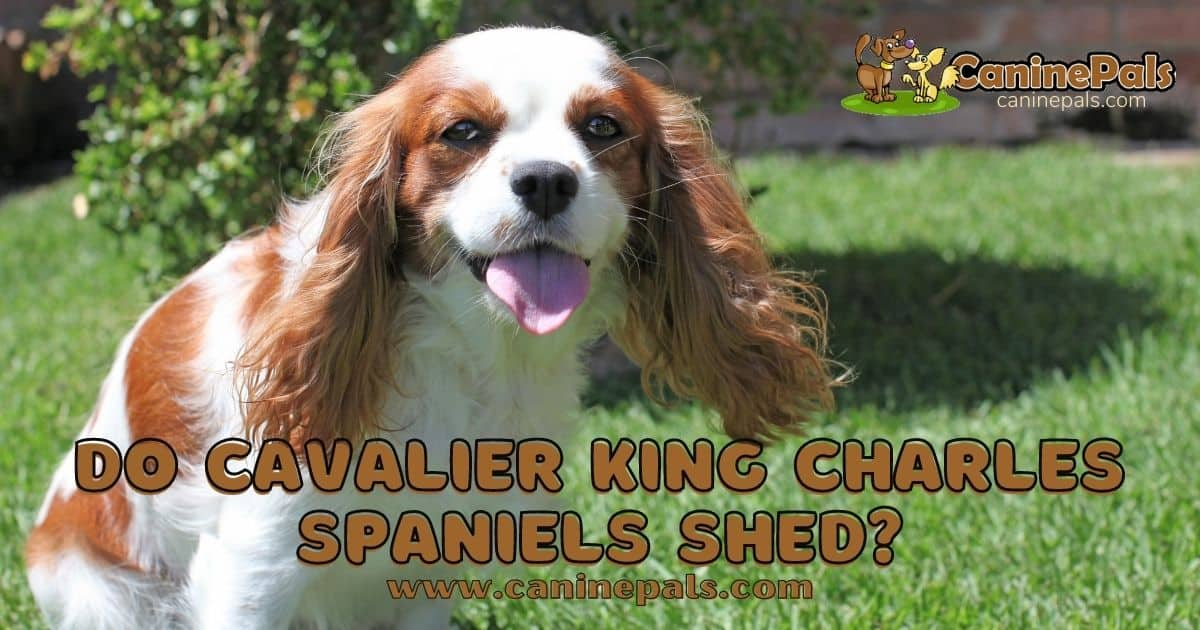 Do Cavalier King Charles Spaniels Shed