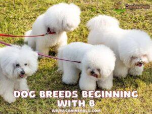 Dog Breeds Beginning With B