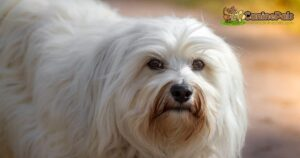 How Much Do Havanese Cost
