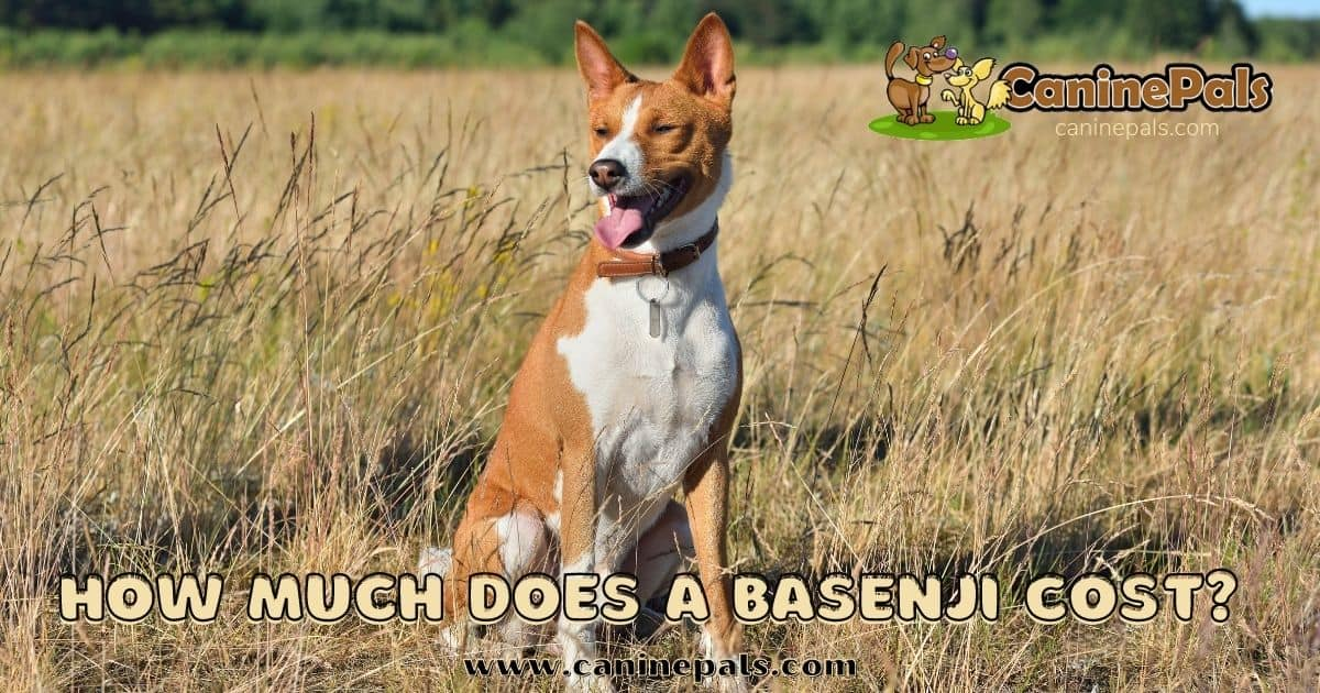 how much does a basenji cost