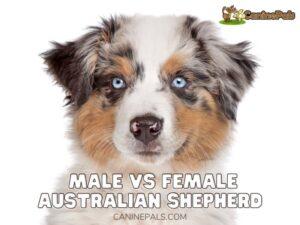 Male vs Female Australian Shepherd