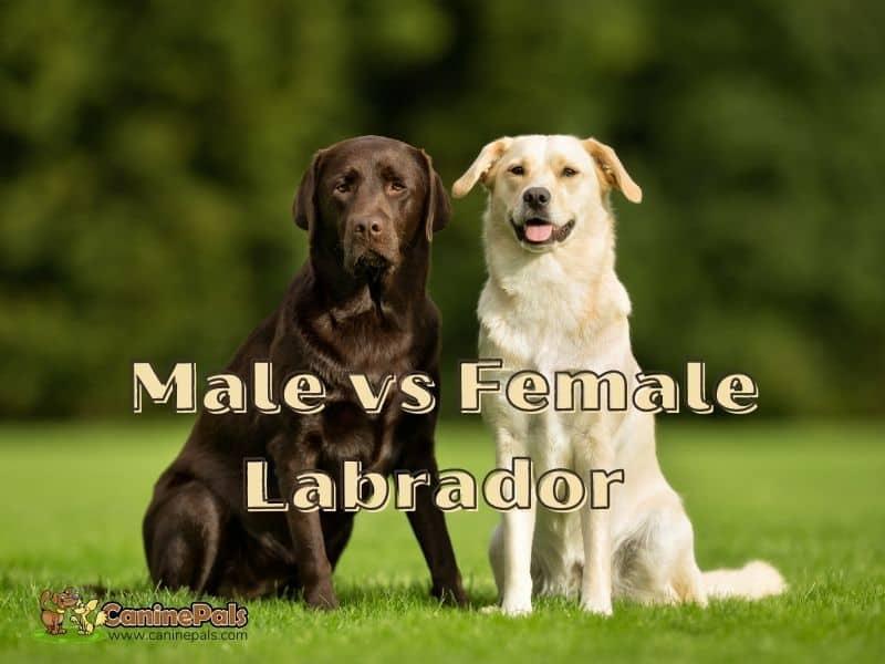 Male vs Female Labrador