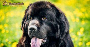Newfoundland Dog Cost