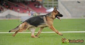 Sloped Back German Shepherd Dog