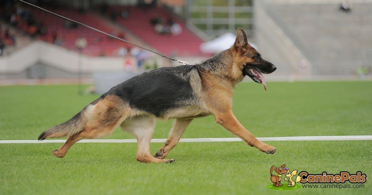 Sloped Back German Shepherd Dog