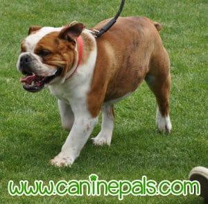 bulldog walking