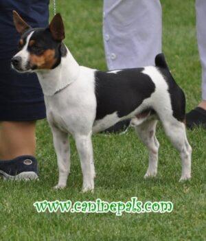 Complete Tenterfield Terrier Dog Information