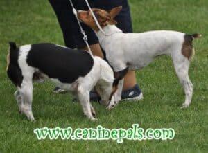 Tenterfield Terriers