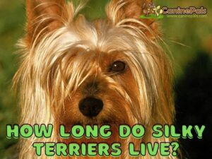 How Long Do Silky Terriers Live?