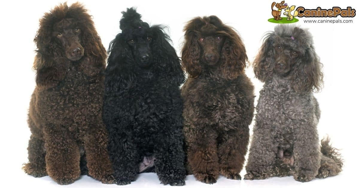 Male Vs Female Poodle