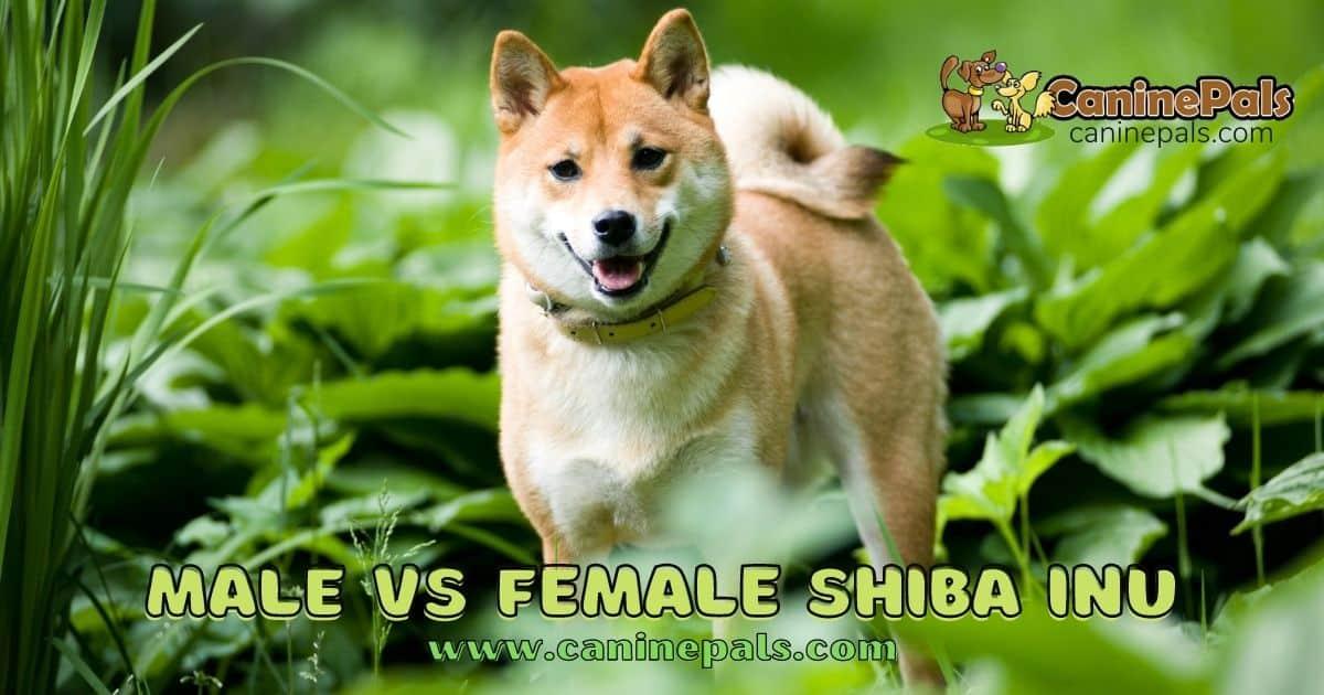 Male vs Female Shiba Inu