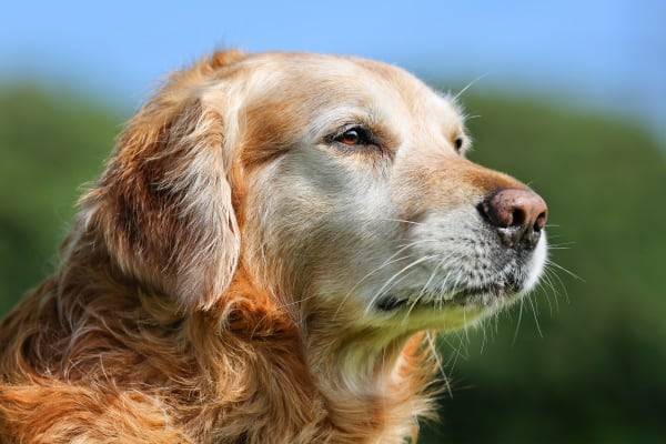 Senior Dog. Purebred Golden Retriever dog