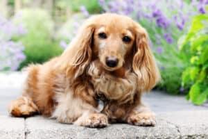 Senior Dog Longhair dachshund