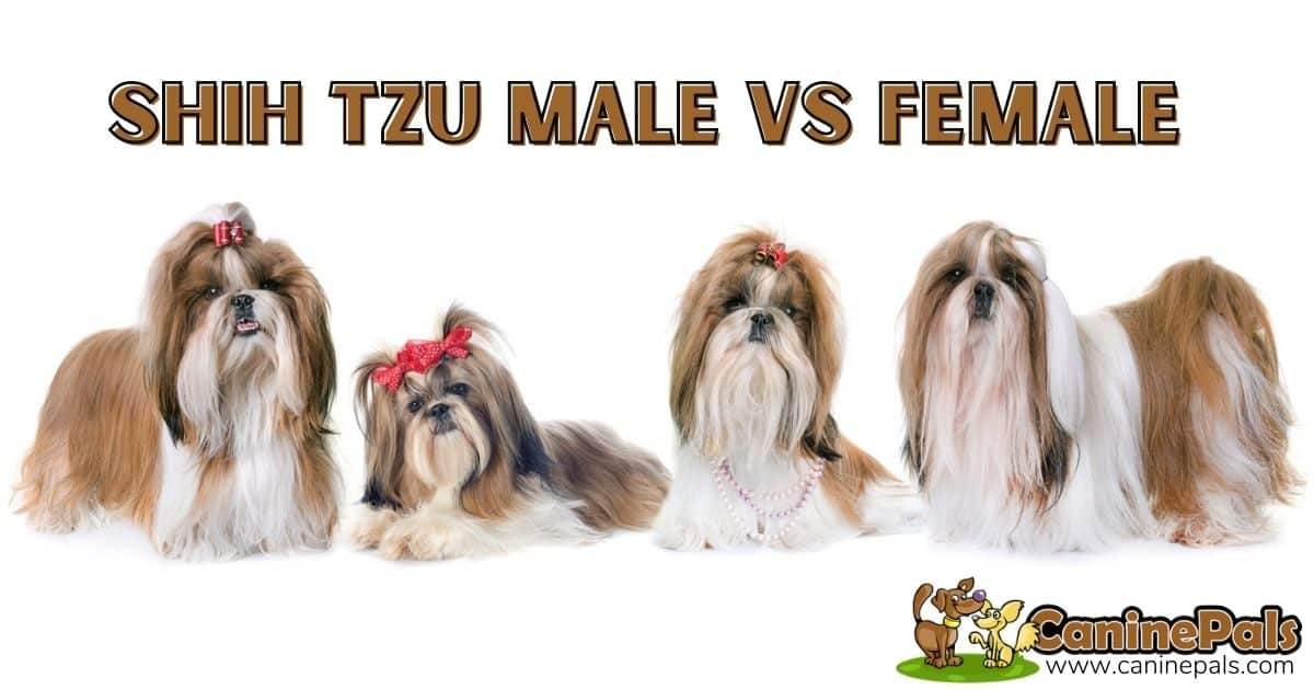Shih Tzu Male vs. Female: What's the Difference?