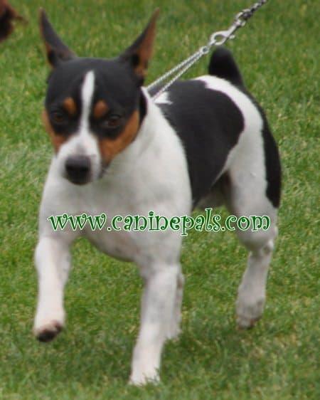 Tenterfield dog