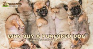 Why Buy a Purebred Dog