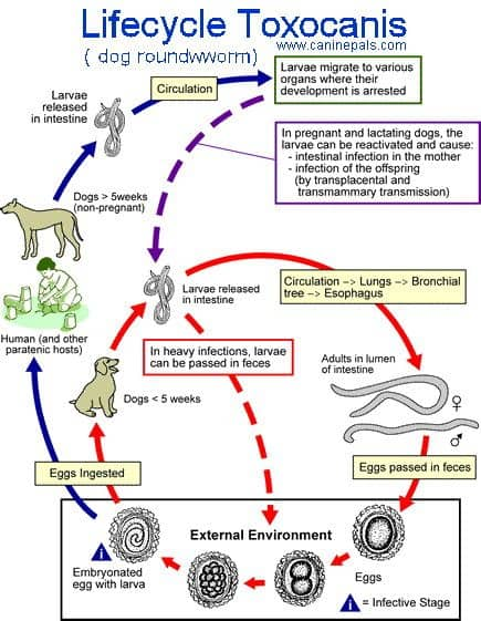 life cycle roundworm dog