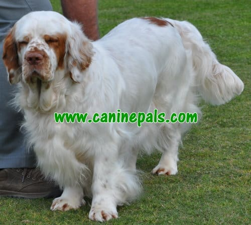 clumber spaniel dog Prevent Ticks And Fleas