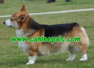 corgi dogs Ticks And Fleas prevention