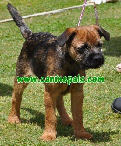 terrier dog puppy