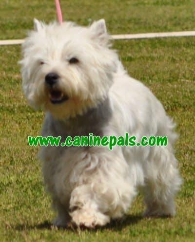 westhighlandwhite terrier dog