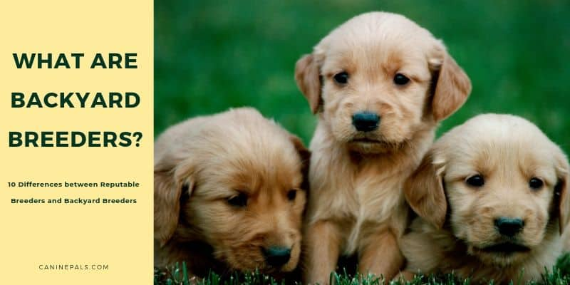 10 Differences between Reputable Breeders and Backyard Breeders