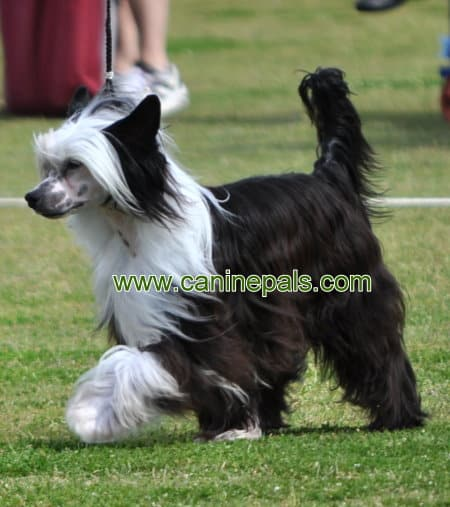 Chinese Crested dog Powder Puff