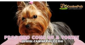 Pros And Cons Of Owning A Yorkie
