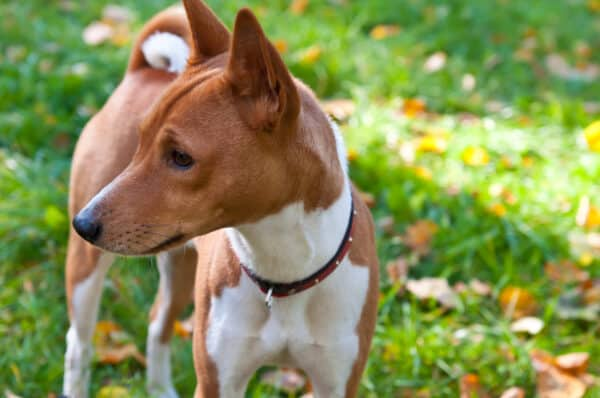 Basenji - an African dog.