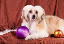 Chinese Crested Dog - Powder Puff Variety