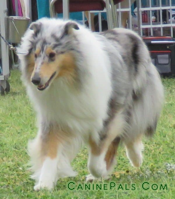 blue merle collie dog